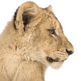 Lion Cub (4 months) Stock Photos