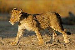 Lion cub. Young lion cub (Panthera leo), Kalahari desert, South Africa Royalty Free Stock Photos