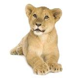Lion Cub (5 mois) images stock