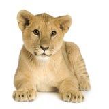 Lion Cub (5 months) Stock Photos