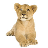 Lion Cub (5 months) Stock Photo