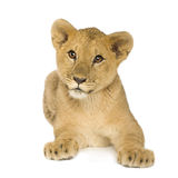 Lion Cub (5 months) Royalty Free Stock Photos