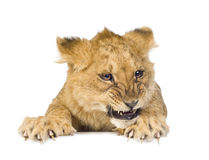 Lion Cub (5 months) Stock Image