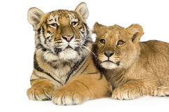 Free Lion Cub (5 Months) And Tiger Cub (5 Months) Royalty Free Stock Photos - 4248288