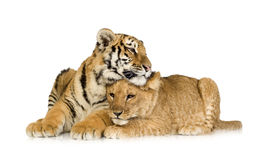 Lion Cub (5 months) and tiger cub (5 months). In front of a white background Stock Photography