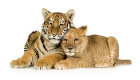 Lion Cub (5 months) and tiger cub (5 months). In front of a white background Royalty Free Stock Photos
