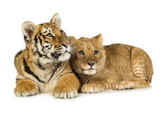 Lion Cub (5 months) and tiger cub (5 months) Royalty Free Stock Image