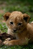 Lion Cub. Young female African lion cub royalty free stock images