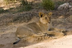 Lion cub. In Kgalagadi Transfrontier park Royalty Free Stock Images