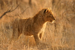 Lion cub. A young lion cub (Panthera leo) standing among grass, South Africa royalty free stock photo
