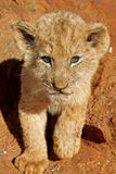 Lion Cub. A little lion cub looking at the camera Stock Photos