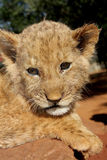 Lion Cub. A small lion cub outside in the sun Stock Images