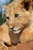 Lion Cub. A little lion cub in the sun looking to side Stock Images
