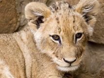 Lion Cub. Close up of a Lion Cub at a local wildlife reserve stock photo