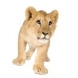 Lion Cub (6 months) Stock Photo
