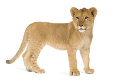 Lion Cub (6 months). In front of a white background Stock Image