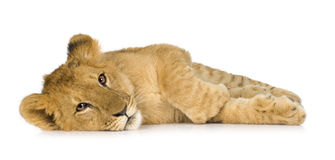 Lion Cub (6 months) Stock Photography