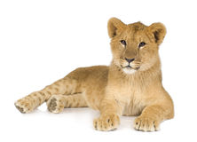 Lion Cub (6 months) Stock Photo