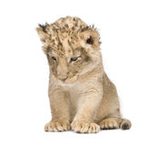Lion Cub (6 weeks) Royalty Free Stock Image
