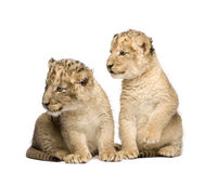 Lion Cub (6 weeks) Stock Photo