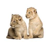 Lion Cub (6 weeks) Stock Photo