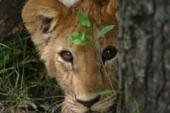 Lion cub. Staring directly at the camera, peeking round a tree. Taken Maasai Mara, Kenya Royalty Free Stock Photo