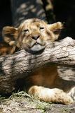 Lion Cub. A lion cub resting his head on a log Royalty Free Stock Photo