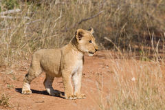 Lion cub. Young lion cub staring intently in the african bush Stock Photo