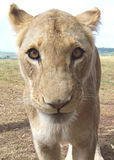 Lion cub. Close-up of a young lion Royalty Free Stock Photography