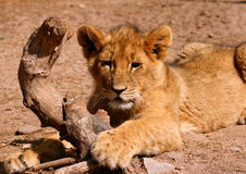 Lion cub. A female african lion cub playing in Africa royalty free stock image
