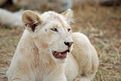 Lion Cub. Image of young white lion cub Stock Image
