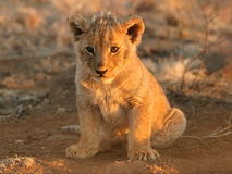 Lion cub. A young lion cub (Panthera leo) sitting down in early morning light, South Africa stock images