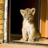 Lion Cub (7 weeks). In front of a white background Royalty Free Stock Photos