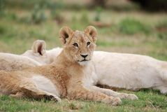 Lion Cub. Image of young lion cubs resting after a meal Royalty Free Stock Photos