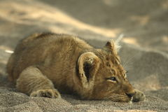 Lion cub. Resting after playng royalty free stock photos