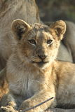 Lion cub. Looking into the lense royalty free stock photos