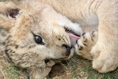 Free Lion Cub Stock Images - 7678524