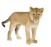 Lion cub (8 months) royalty free stock image