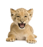 Lion Cub (8 weeks). In front of a white background Royalty Free Stock Images