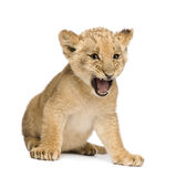 Lion Cub (8 weeks). In front of a white background Royalty Free Stock Photo
