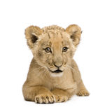 Lion Cub (8 weeks) Stock Photo