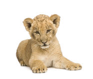 Lion Cub (8 weeks) Stock Images