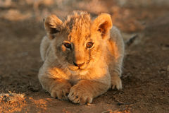 Lion cub. A young lion cub (Panthera leo) lying down in early morning light, South Africa stock photos
