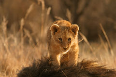 Lion cub. (Panthera leo) climbing on the head of his father, South Africa stock images