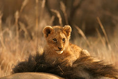 Lion cub. (Panthera leo) sitting on the head of his father, South Africa stock images