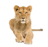 Lion Cub (9 months) Royalty Free Stock Image