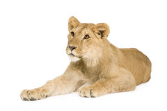 Lion Cub (9 months) Stock Photo