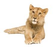 Lion Cub (9 months) Stock Photography