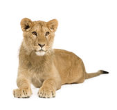 Lion Cub (9 months) Stock Photography