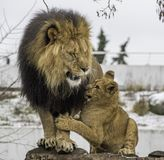 Lion cub and adult. Adult male lion playing with young cub outdoors Stock Photography